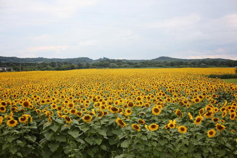 Meganklauer_sunflower_field