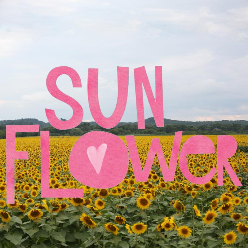 Meganklauer_sunflowers1
