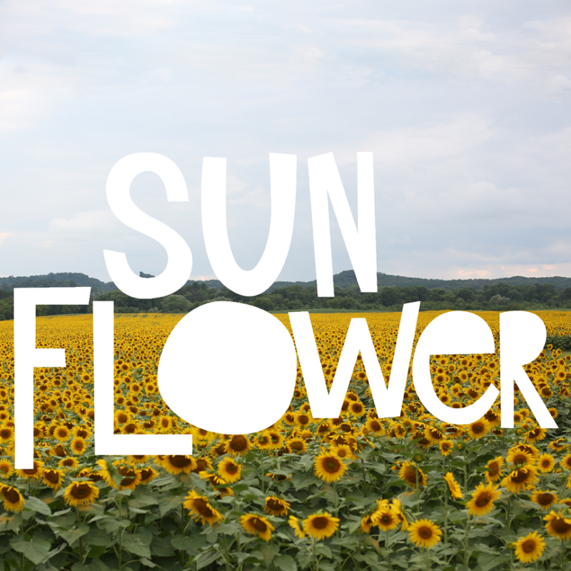 Meganklauer_sunflowers_1a